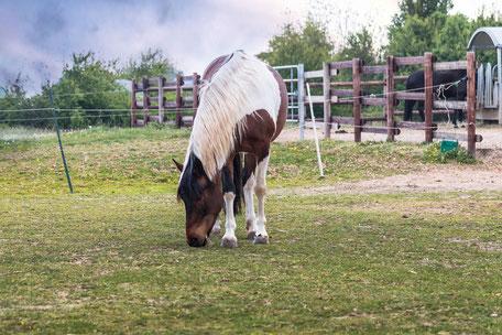 braun-weiss-geschecktes-pferd-beim-grasen