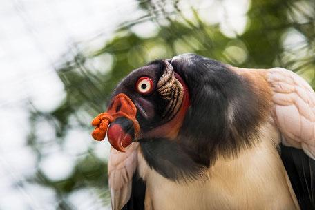 koenigsgeier-II-tiere-greifvogel-vogel