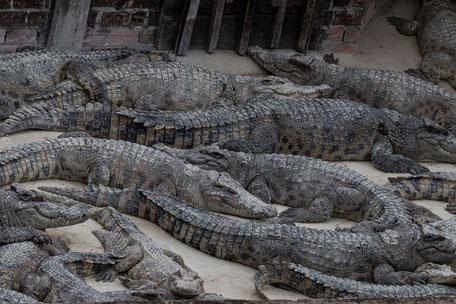 krokodil-farm-siem-reap-kambodscha-II