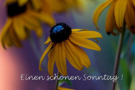 grusskarte-sonntag-sonnenhut-echinacea