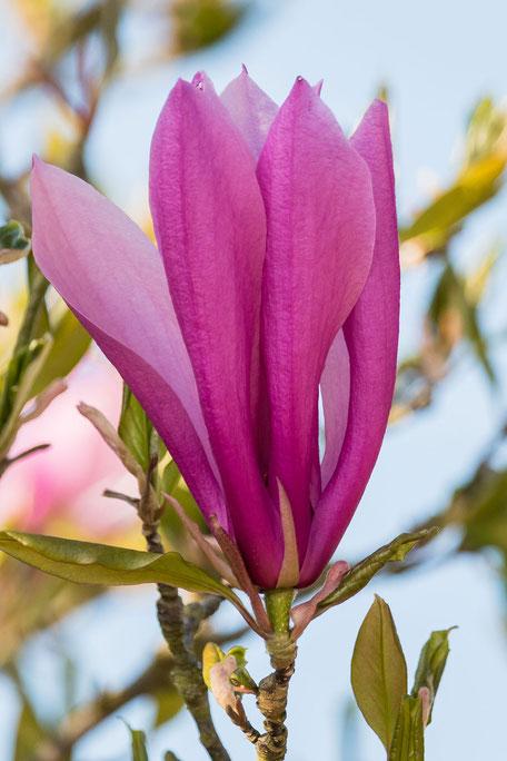 magnolien-bluete-einzeln-hochkant