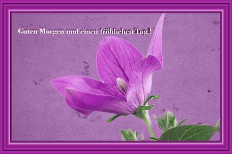 grusskarte-guten-morgen-ballonblume-lila-gerahmt