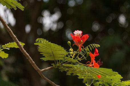 flammenbaum-flamboyant-blueten-blaetter-malaysia