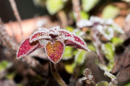 oregano-im-frost