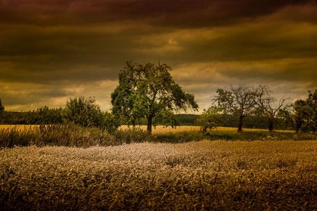 Bäume im Getreidefeld am Abend