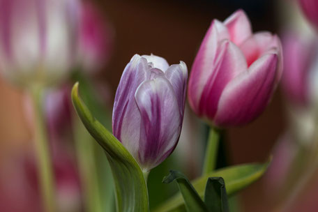 tulpen-weiss-rosa-makro