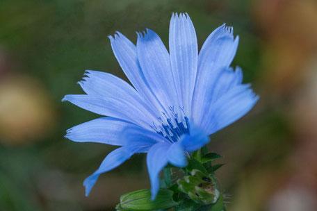wegwarte-makro-bluete-blau