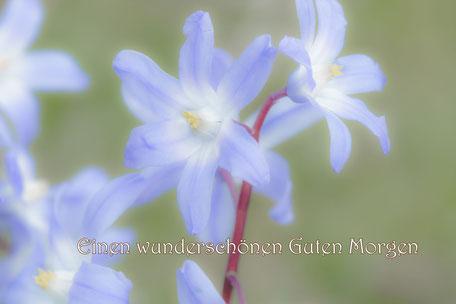 sternhyazynthe-blaustern-wunderschönen-guten-morgen