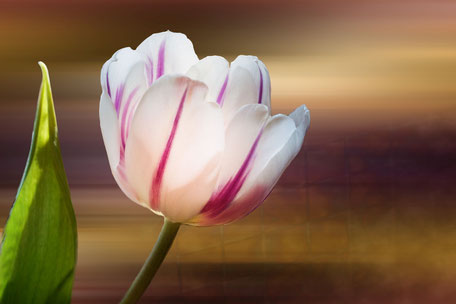 tulpe-einzeln-weiss-lila-macro