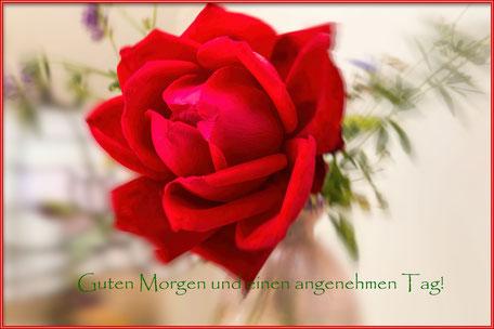 strauchrose-rot-guten-morgen-grusskarte