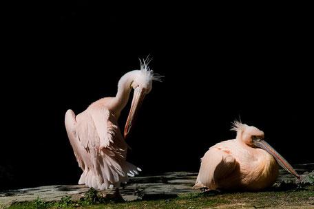 pelikane-bei-der-federpflege-koerperpflege-II-tiere