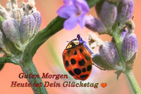 grusskarte-guten-morgen-marienkaefer-an-lavendel-bluete
