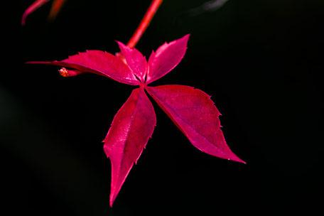 rotes-herbstblatt