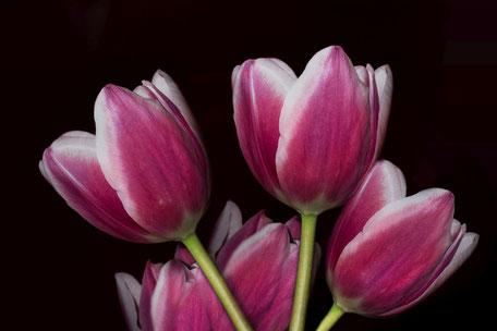 tulpen-strauss-weiss-rosa-macro-auf schwarzem-hintergrund