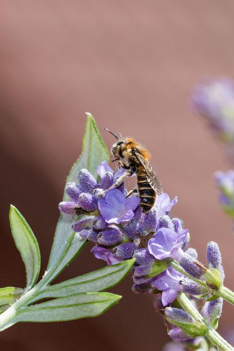 schwebfliege-hosenbiene-an-lavendel-hochkant
