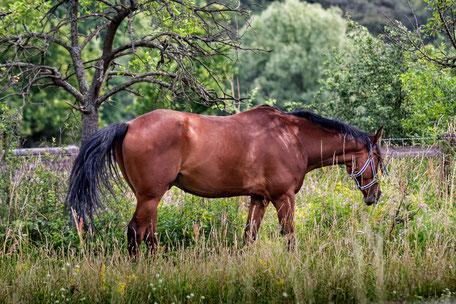 braunes-pferd-auf-der-koppel