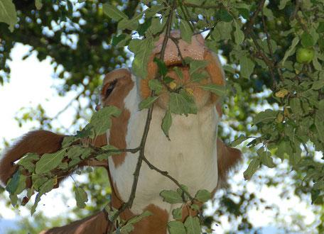 Kuh beim Apfelbaum am Biobauernhof Stadler