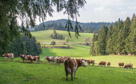 Biokühe auf der Weide am Biobauernhof Stadler