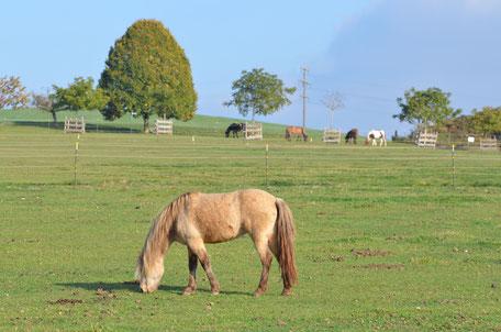 Pensionspferde Islandpferde Sunnsitehof Verkaufspferde