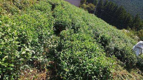 整備後の茶畑。お茶が姿を現しました!