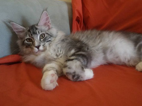 silver tabby and white maine coon