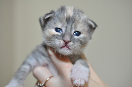 blue silver torbie maine coon kiiten for sale in US
