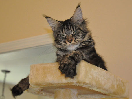brown tabby maine coon kitten - EuroCoons Maine Coon cats