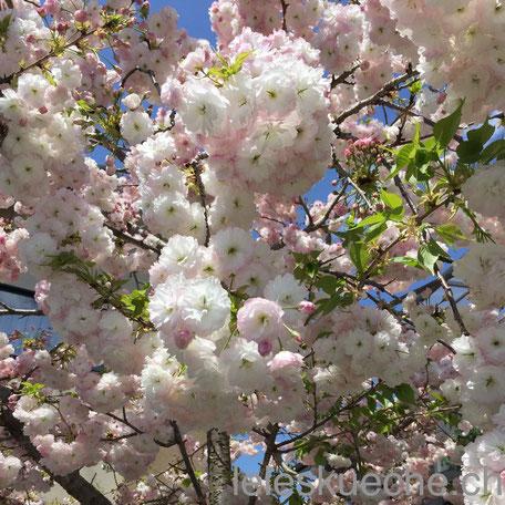 Kochblog oder nicht, die Kirschblüten dürfen nicht fehlen!