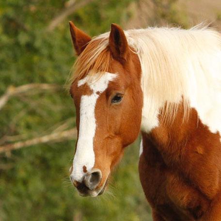 Braveheart Wanderreitpferd bei Natürlich zu Pferd