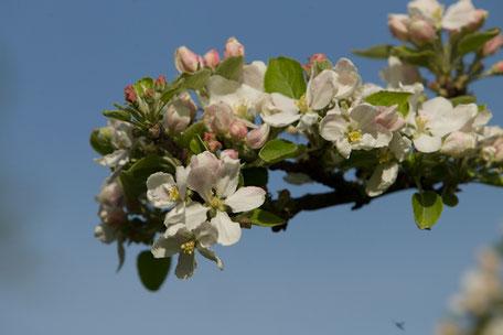 Obstbäume blühen
