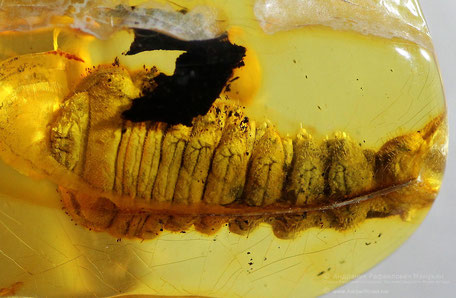 Inclusion in amber:  unidentified larvae xylophages