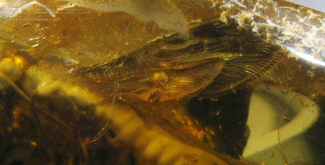 Инклюзы в янтаре: Hymenoptera Siricidae