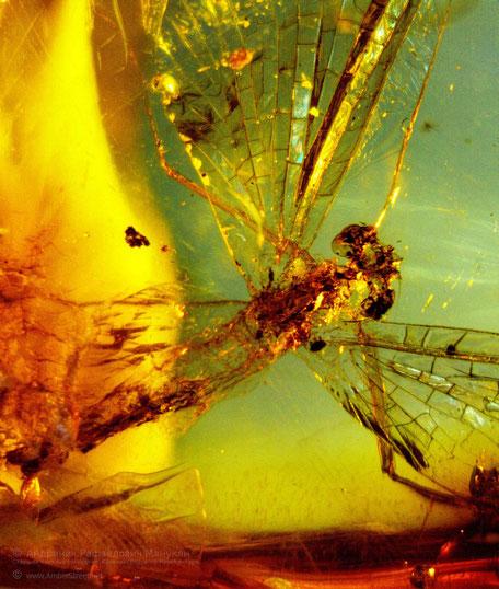 Инклюзы в янтаре: Ephemeroptera