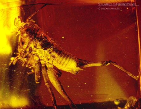 Inclusion in amber:  Orthoptera, Tettigoniidae