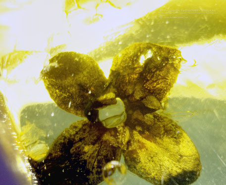 Inclusion in amber:   Myrsinopsis succinea Conw