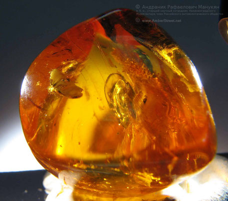 Inclusion in amber:  Coleoptera, Elateridae