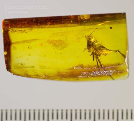 Инклюзы в янтаре: Orthoptera, Tettigoniidae