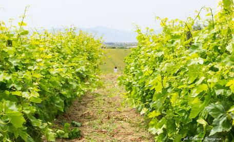 Сардиния винодельни