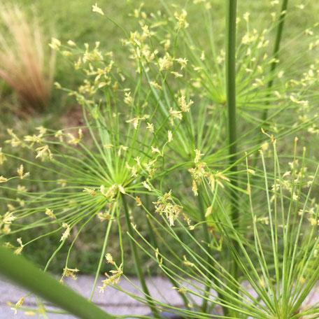 ミニパピルスの先が黄色いホコリみたいなんが増えて来た⁉ これ花っすかね?