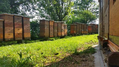 Carnica Bienenvölker in Zander auf 4 Zargen