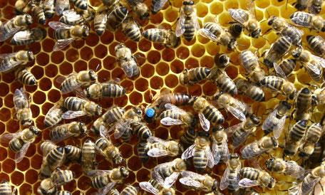 Im Bienenvolk zugesetzte, akzeptierte Reinzuchtkönigin