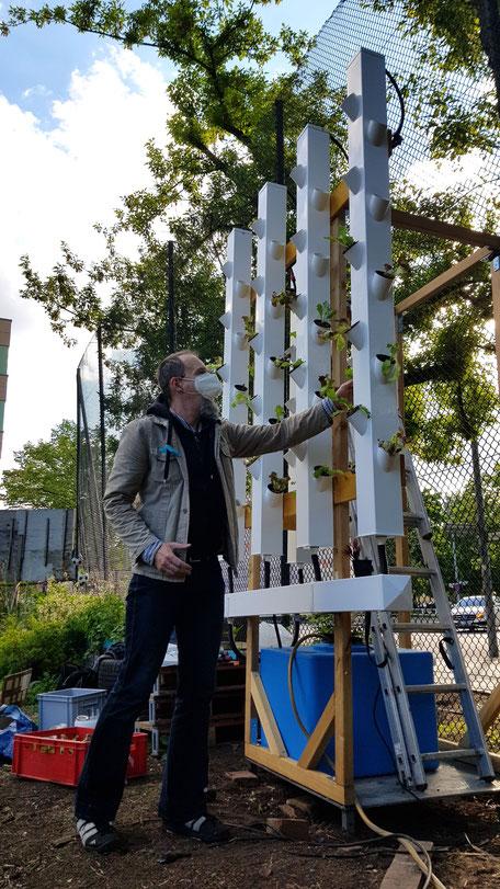 Holzkonstruktion mit vier vertikalen Pflanzmodulen mit frischem Salat. Insgesamt circa drei Meter hoch.