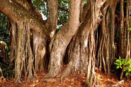 Banjabäume, Florida
