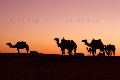 Dromedare am Rande der Wüste in Marokko