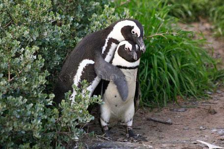 Pinguine am Kap von Südafrika