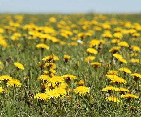 Gelb blühende Löwenzahn Wiese