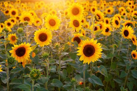 SONNEN - Blumen lieben die Sonne!