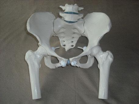 Becken, Körpermodell, Anatomiemodell