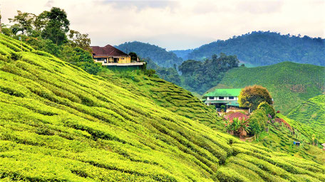 Malaysia Tipps Cameron Highlands