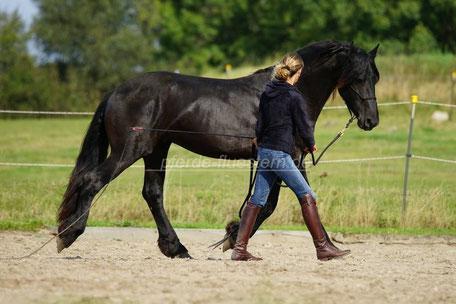 Gehorsam, junge Pferde